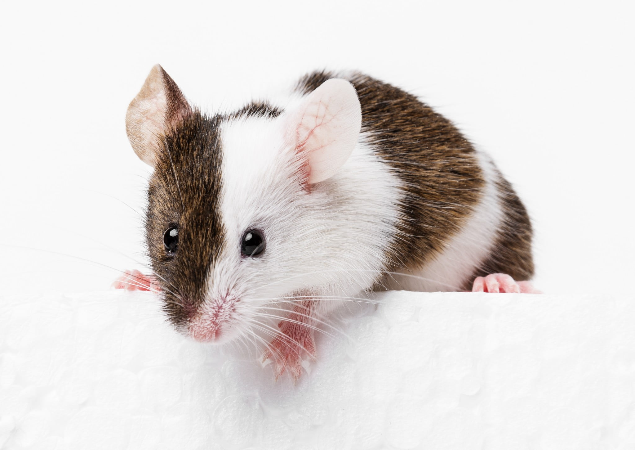 cute mouse: mice study examines sedentary behaviour