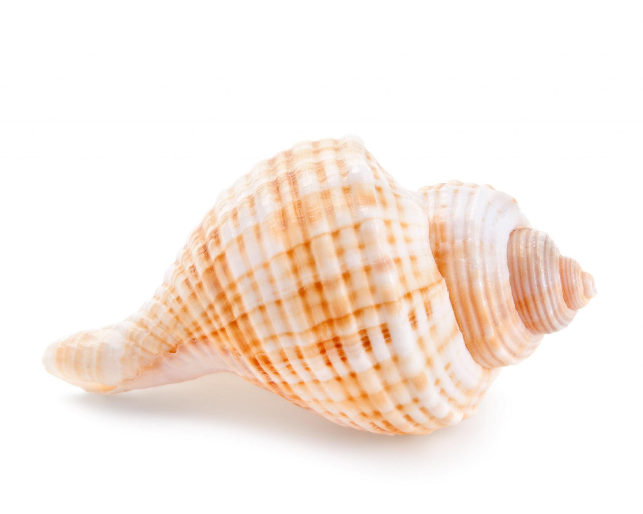 seashell-inspired capsule - pretty seashell