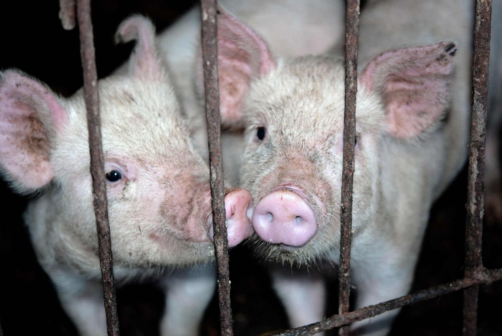 pigs in cage: animal diseases story