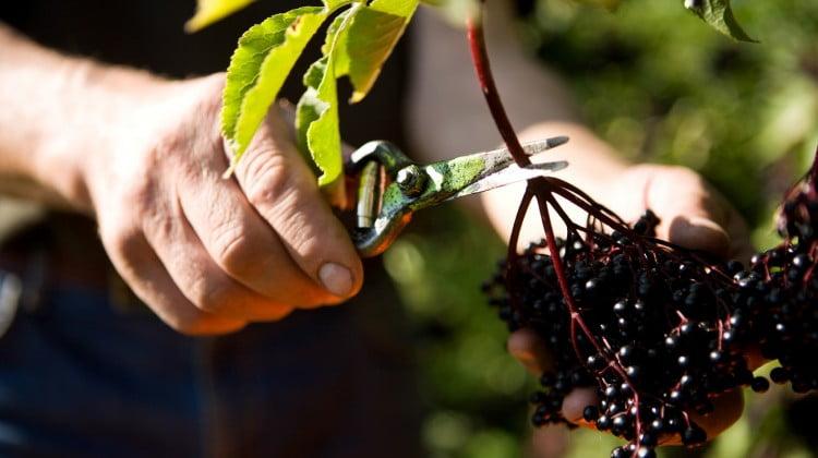 elderberry bush with berries being picked