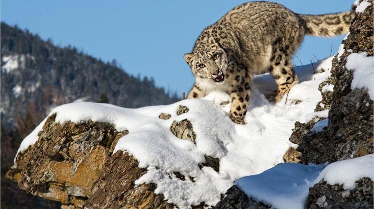 mEye world 2014 winner, snow leopard