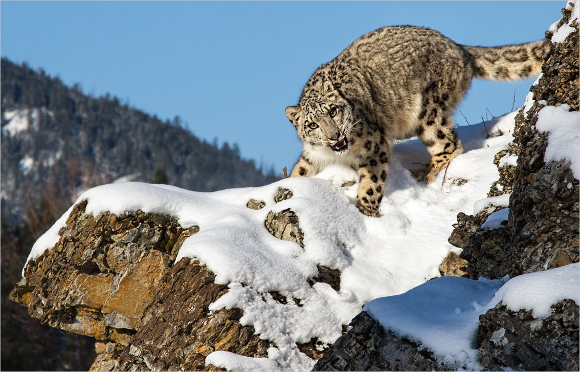 mEye world 2014 winner, snow leopard