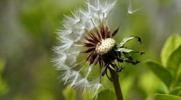 allergy - dandelion