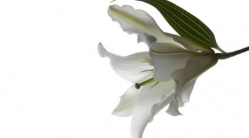 Funeral lily