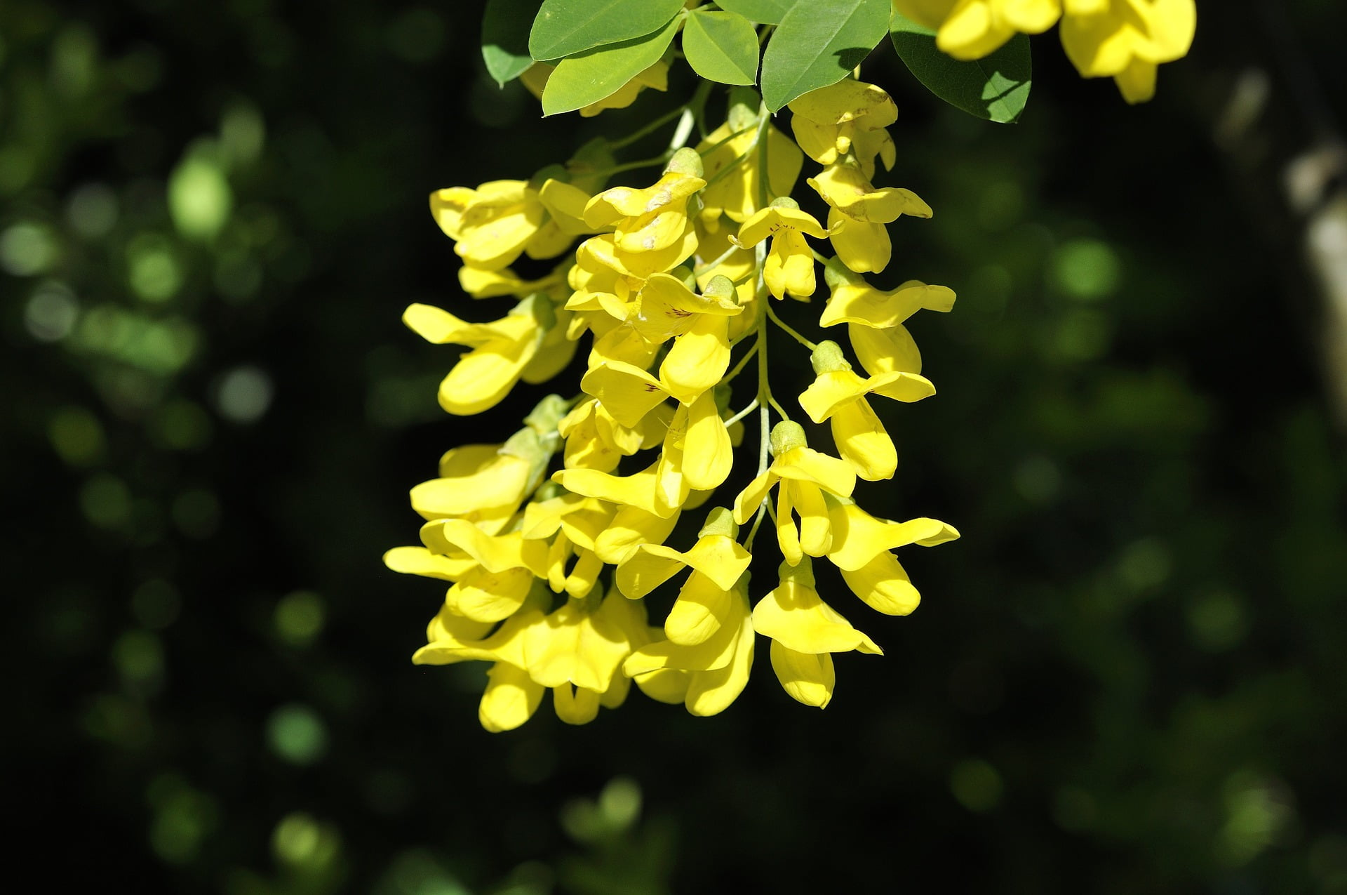 Flowers from the Laburnum anagyroides, the common laburnum, golden chain or golden rain tree.