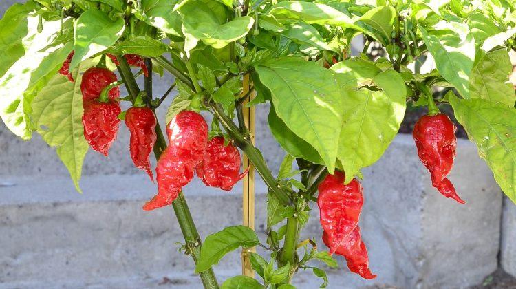 Mature California Reaper chilli peppers. Image: Scimex