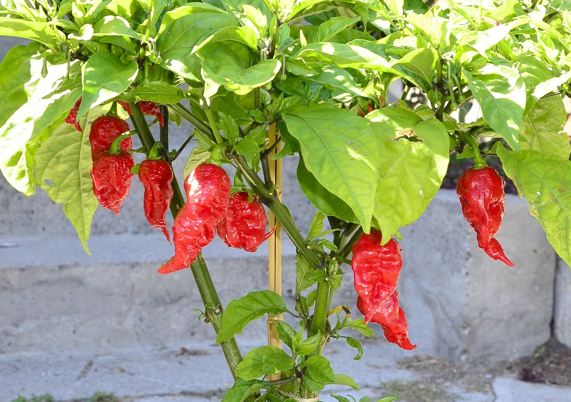 Mature California Reaper chilli peppers. Image: Scimex